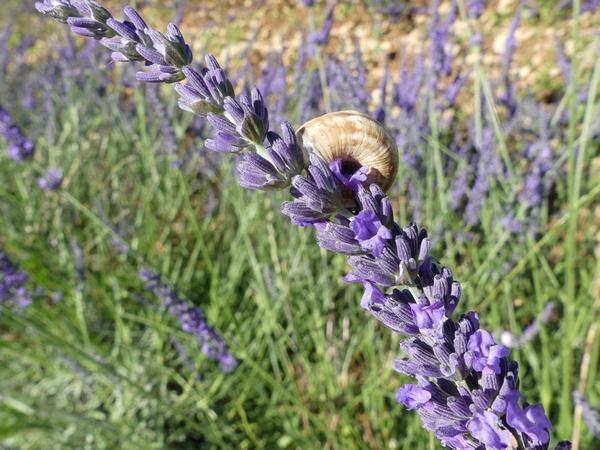 Fleur de lavande / lavender flower
