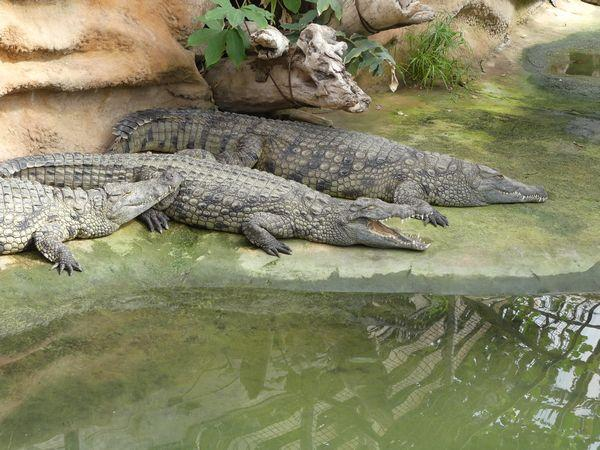 Crocodiles du Nil